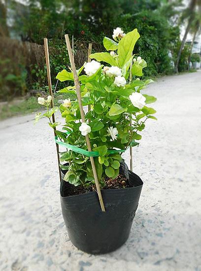 Giống cây trồng Hoa nhà