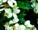 Cây bướm bạc
