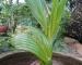 Cây dừa xiêm