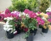 Cây hoa bông giấy