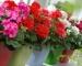 Cây hoa phong lữ