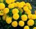 Cây hoa Vạn thọ
