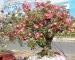 Cây Sứ Thái Lan – hoa hồng sa mạc